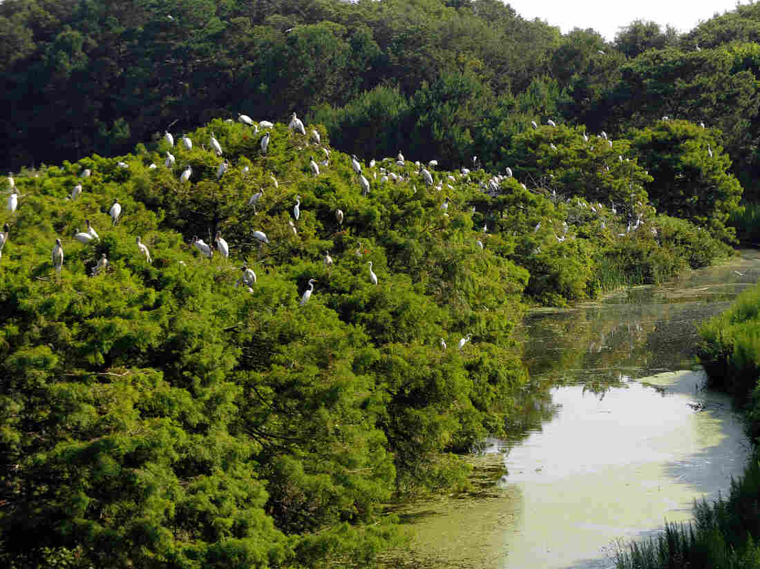 Hundreds of adult wood storks gather on the tops of trees at the Harris Neck National Wildlife Refuge.