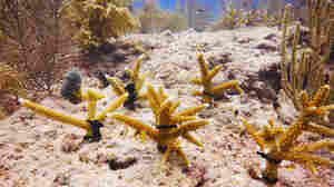 Staghorn coral planted by scientists in the Florida Keys. Researchers hope to give the same sort of boost to the world's shrinking population of pillar coral, now that they can raise the creatures in a laboratory.