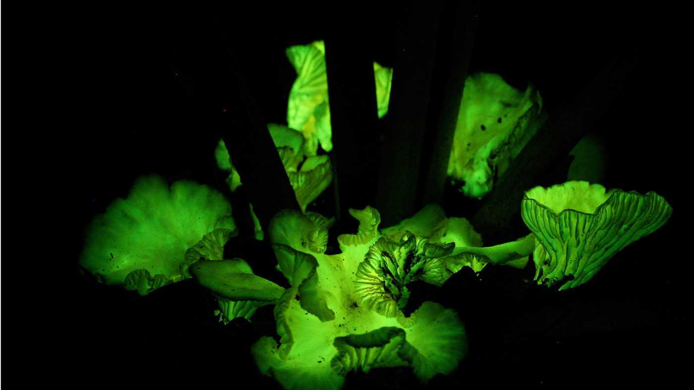 Best Plants For Desk Why Some Mushrooms Glow In The Dark Npr