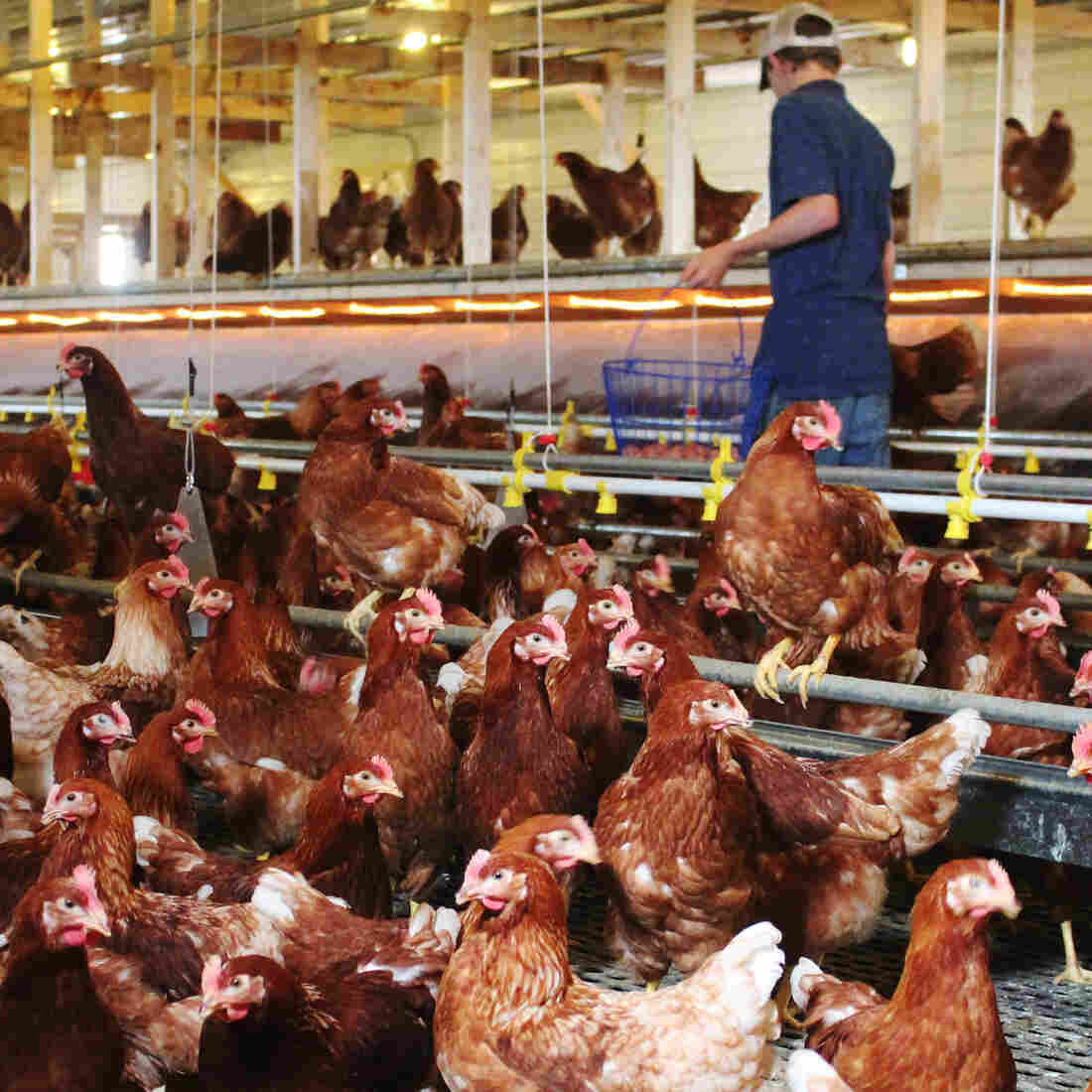 Cramped Chicken Cages Are Going Away. What Comes Next?