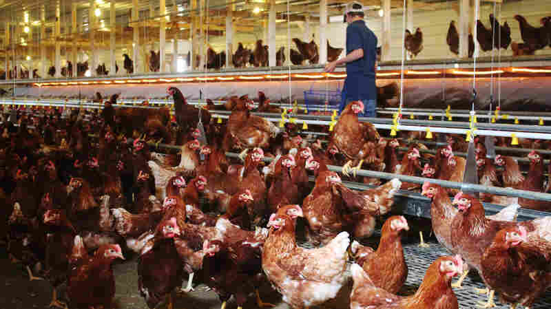 Free-range houses allow chickens to move around freely, but operating costs were 23 percent higher than for traditional cages, according to a new study.