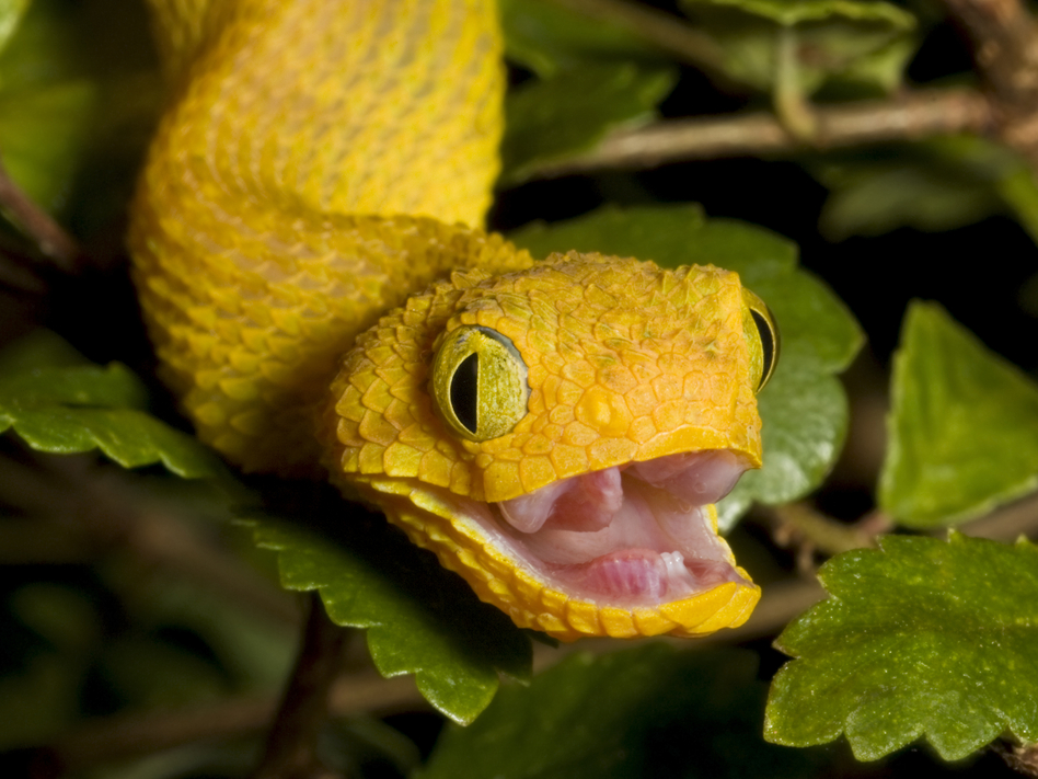 Next time you run into an African bush viper like this one, be thankful for your forward-facing eyes. (iStockphoto)