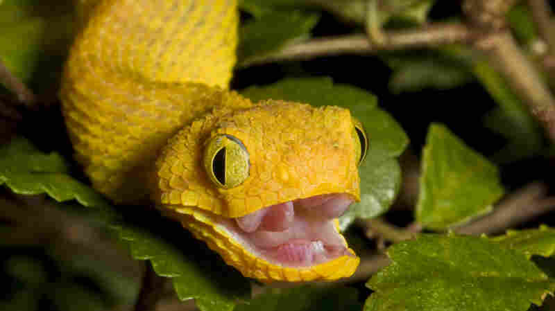 Next time you run into an African bush viper like this one, be thankful for your forward-facing eyes.