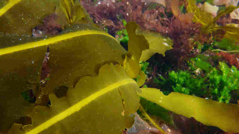 """Alaria, a type of seaweed also known as """"Wild Atlantic Wakame,"""" grows in the North Atlantic Ocean and is simil"""