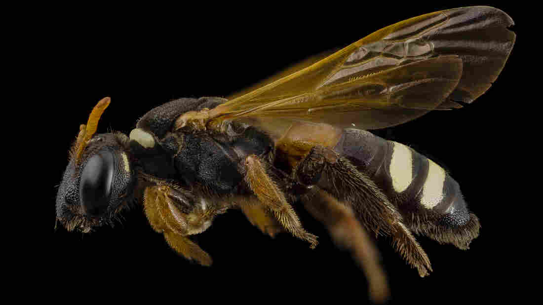 University of Arizona entomologist Justin Schmidt was stung well over 1,000 times while creating the Schmidt Sting Pain Index.