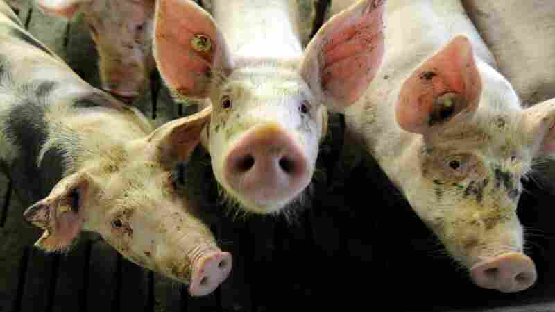 The European Union banned the use of antibiotics to boost animals' growth in 2006. At first, the ban had little effect on the amount of drugs given to pigs.