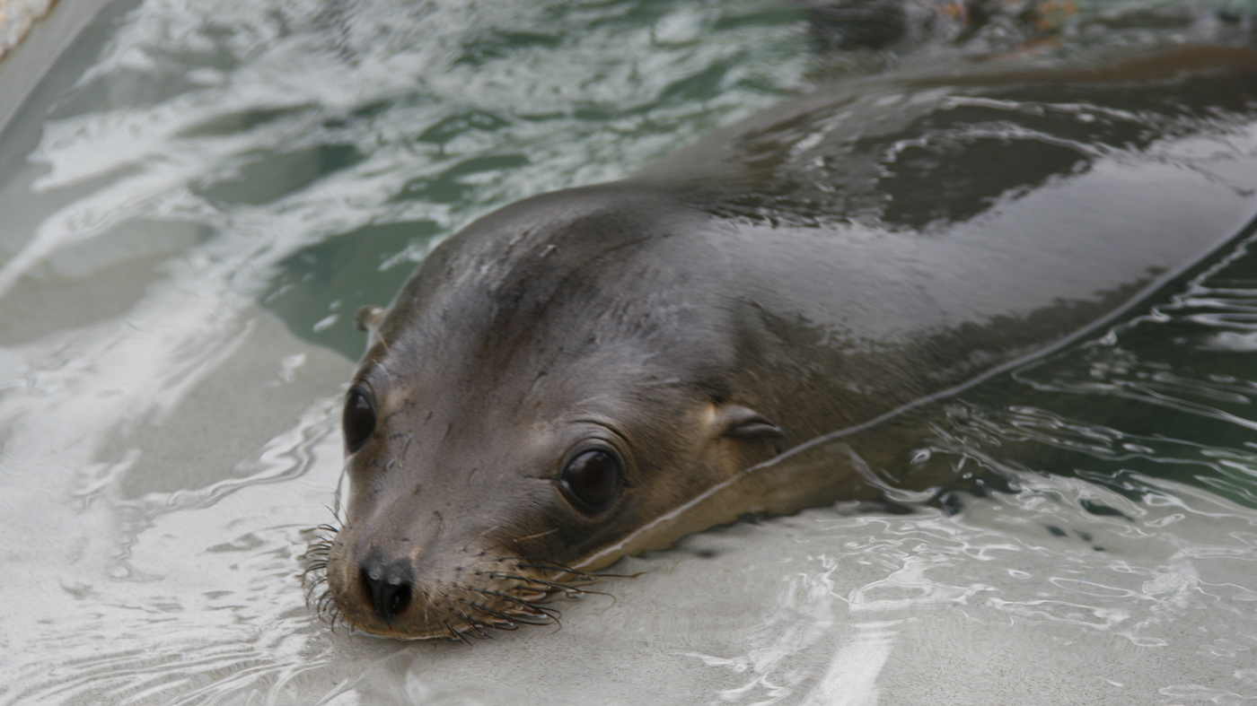 Record number of starved sea lion pups straining california record number of starved sea lion pups straining california resources npr publicscrutiny Images
