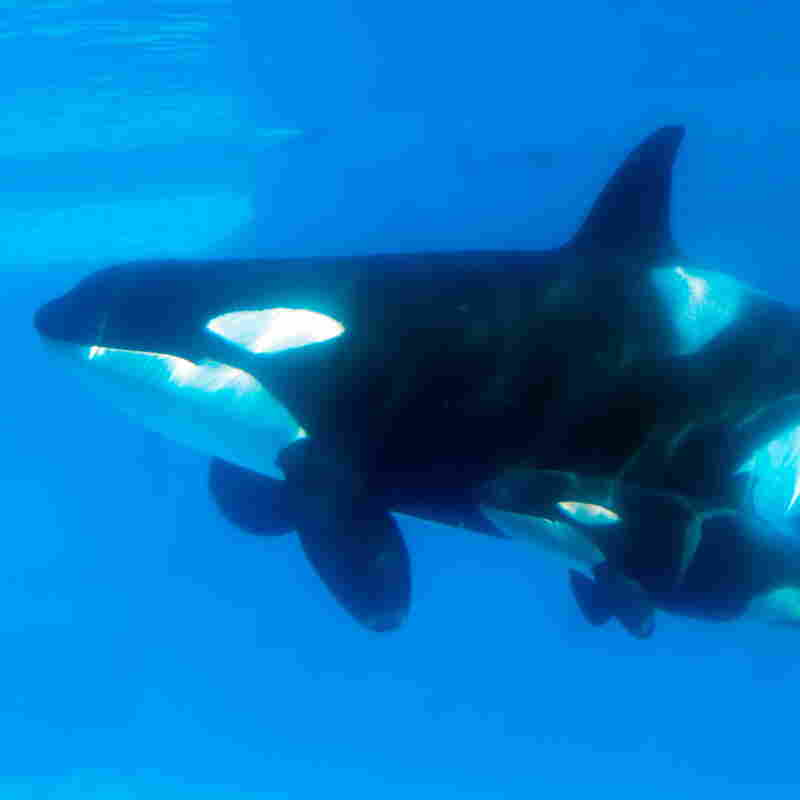 "Kasatka swims with her calf in 2013. Hargrove says that when another of Kasatka's calves was taken from her, she emitted ""heartbreaking"" vocalizations. SeaWorld's Chuck Tompkins says Hargrove's ""interpretation"" is different ""from mine or any other trainer that was there."""