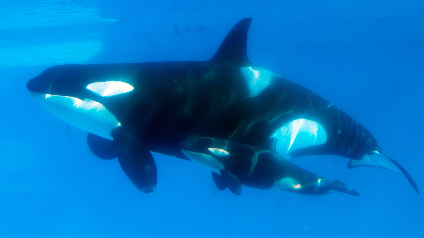 Former Orca Trainer For SeaWorld Condemns Its Practices : NPR