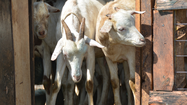 The Galla goat is a secret weapon in efforts to cope with climate change.