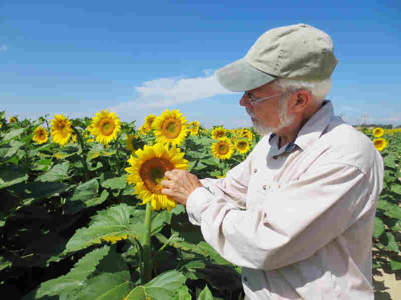 Tom Trout studies irrigation technology, one area where Colorado is innovating, for the USDA. Here, he examines a sunflower test plot in rural Weld County, Colo.