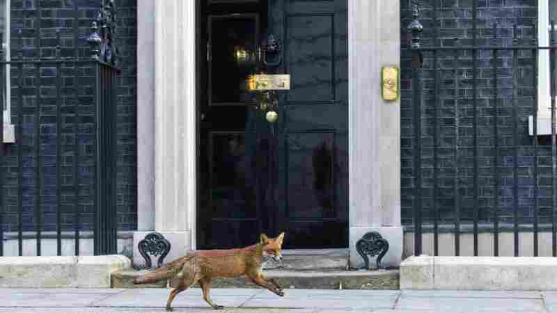 A fox runs past the door of 10 Downing Street in London on Monday.