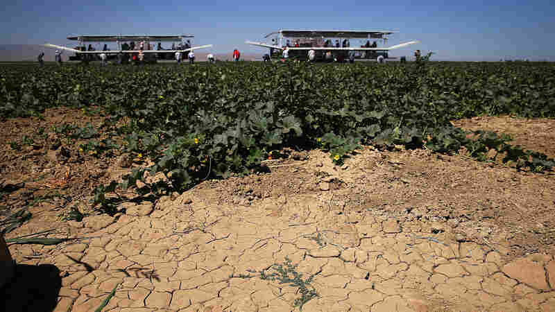 Dry, cracked earth is visible on a cantaloupe farm near Firebaugh, Calif., last August. Record-low snowpack levels in the Sierra Nevada mean most Central California farmers will face another year without water from the federal Central Valley Project.
