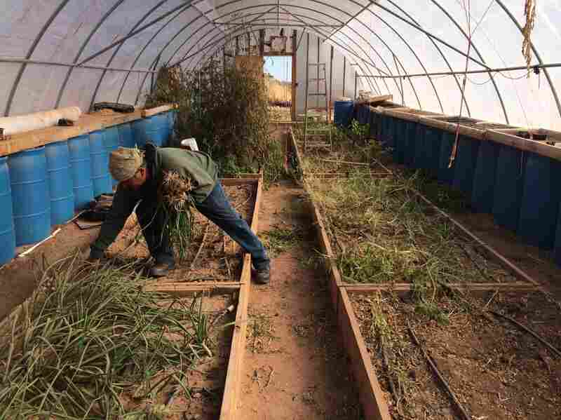 Stacey Jensen picks onions from his greenhouse at North Leupp Family Farms. The Navajo Nation hopes to to put the money generated from the tax into community farms like this one.