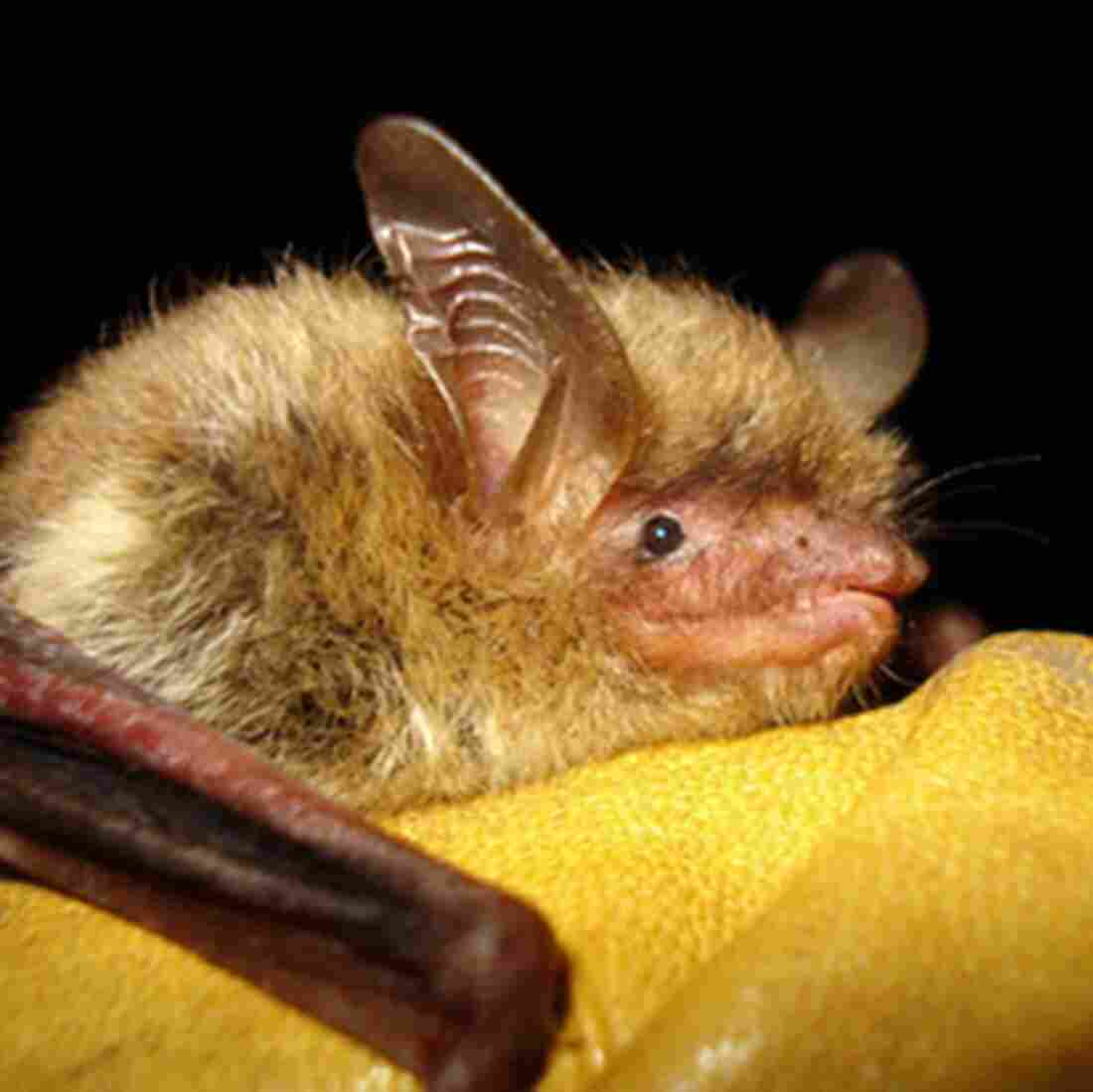 Federal Government Protects Bat, Angers Industry