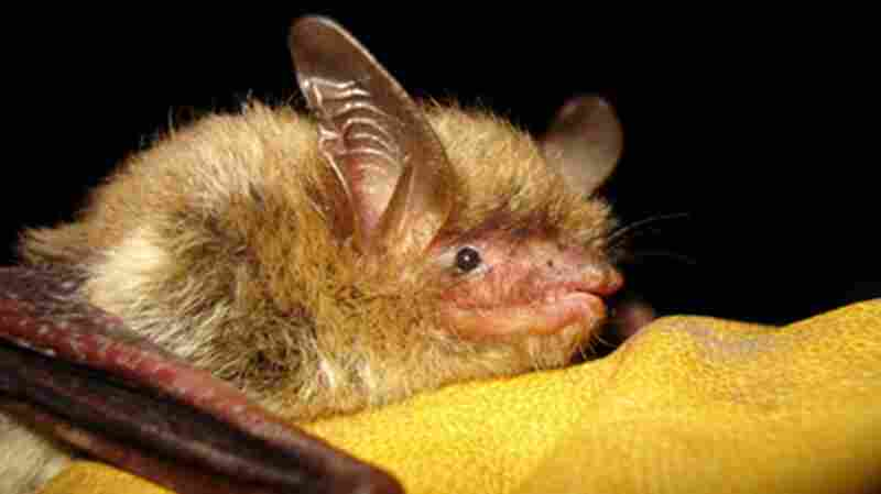 An undated file photo provided by the Wisconsin Department of Natural Resources of a northern long-eared bat. A fungal disease has devastated the species, now listed as threatened.