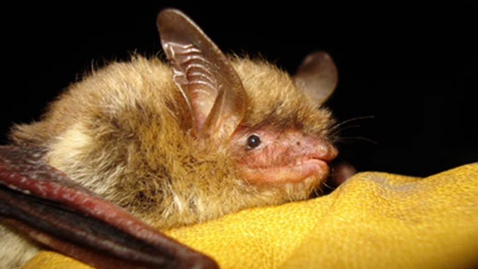 An undated file photo provided by the Wisconsin Department of Natural Resources of a northern long-eared bat. A fungal disease has devastated the species, now listed as threatened. (AP)