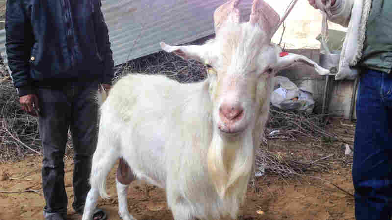 The owners of this Gaza goat say it is a hermaphrodite: male private parts and an udder.