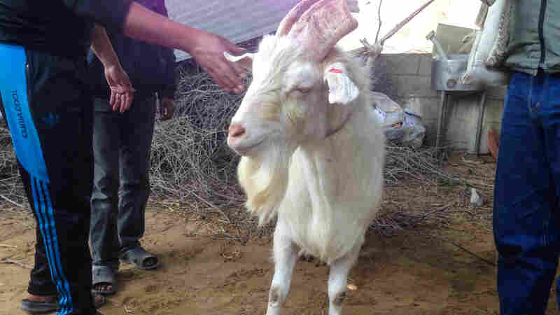 In Gaza, all hermaphroditic goats will go to heaven. On Sunday, authorities ordered the slaughter of this animal — which had male sex organs and udders — lest people mistakenly believe that its milk had special powers. And if another hermaphrodite goat turns up, it too will face the knife.