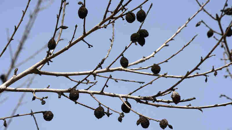 Dead almonds on a drought-stricken tree near Fresno, Calif., on April 10, 2015.