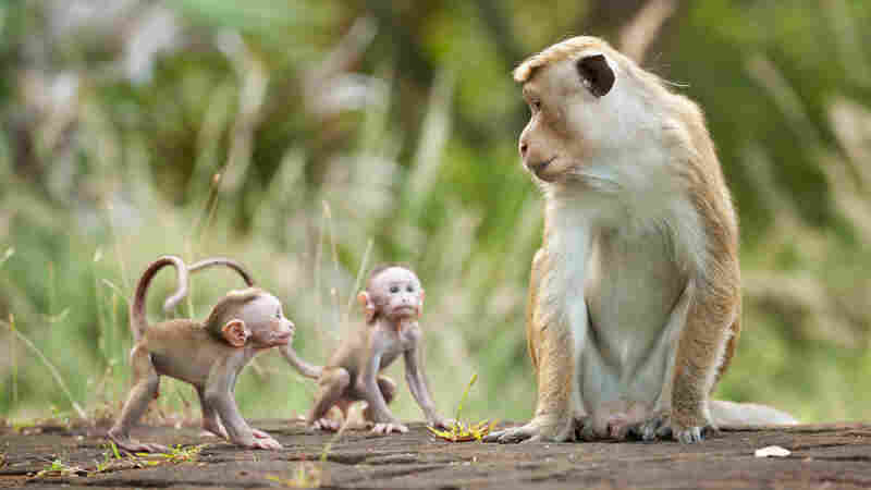 Macaque monkey Kumar appears with two infants in Monkey Kingdom.