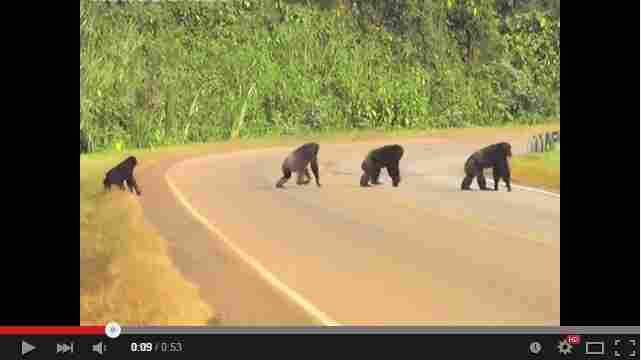 A troop of chimpanzees in Uganda has learned to look both ways before crossing a busy highway.