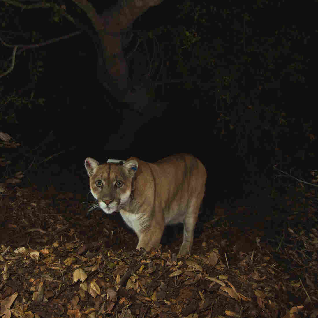 The mountain lion known as P-22 is seen in a photo from November after recovering from mange. He has been living in Griffith Park since at least February 2012.