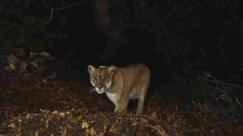 The mountain lion known as P-22 is seen in a photo from November after recovering from recovering from mange. He has been living in Griffith Park since at least February 2012.