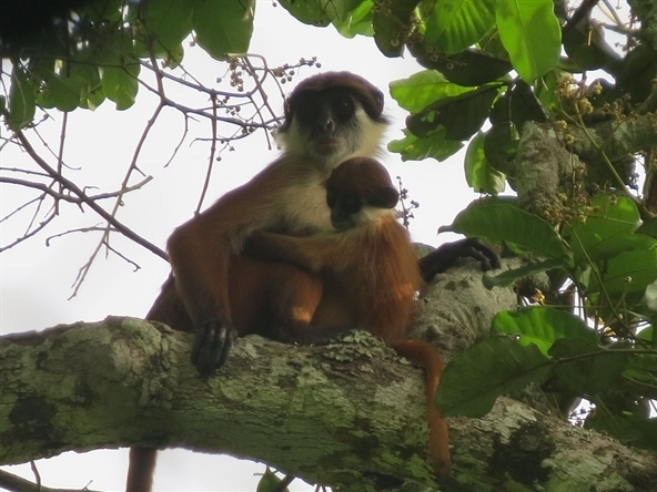 Congo Monkey Spotted Decades After Species' Alleged Demise