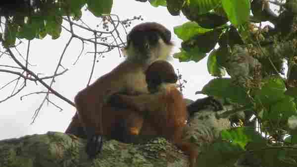 Mother and infant Bouvier's red colobus monkeys in a first-ever photograph of the primate taken in the Democratic Republic of Congo. The species was thought to have gone extinct in the 1970s.
