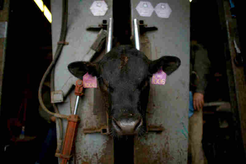 Angus bulls are brought into the squeeze chute to have a sonogram taken of their longissimus dorsi muscles to see the marbling in the beef.