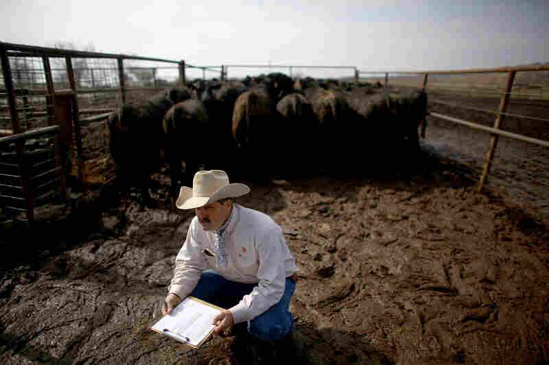 Rancher Donnell Brown separates Angus bulls on a March morning after a late-winter snow turned the ground into a thick mud slurry.