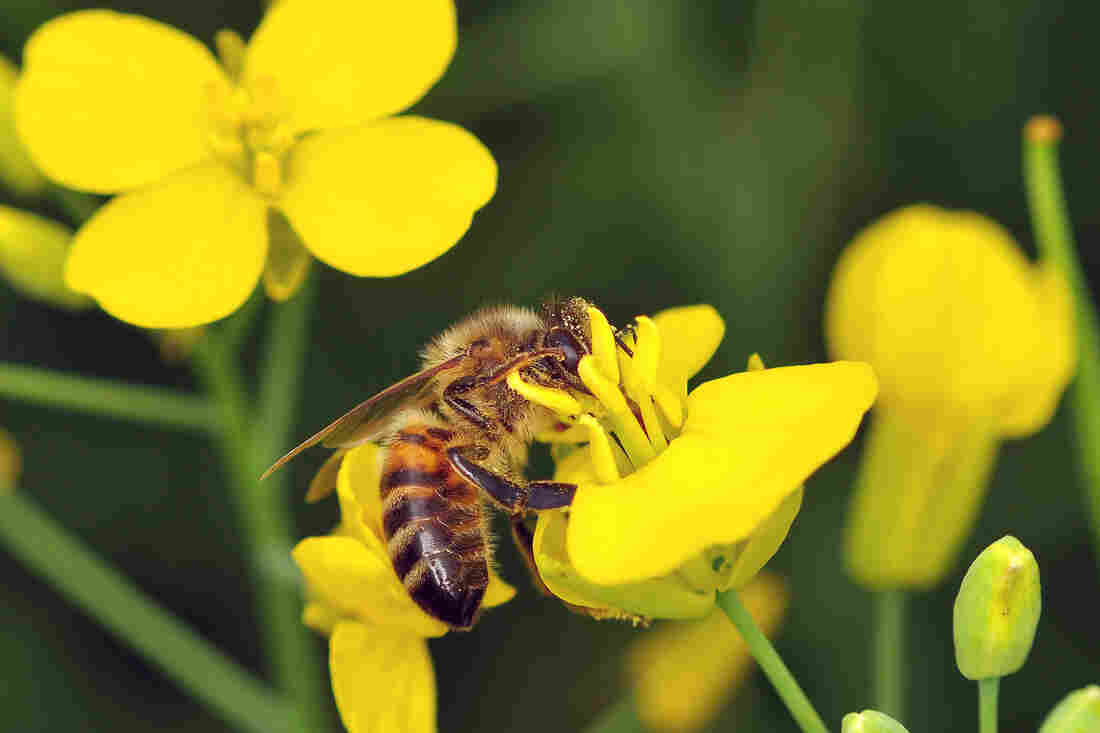 A honeybee forages for nectar and pollen from an oilseed rape flower.