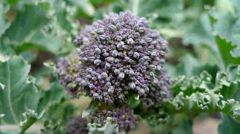Sprouting broccoli will serve up florets in about 50 days. Not bad for this member of the brassica family.