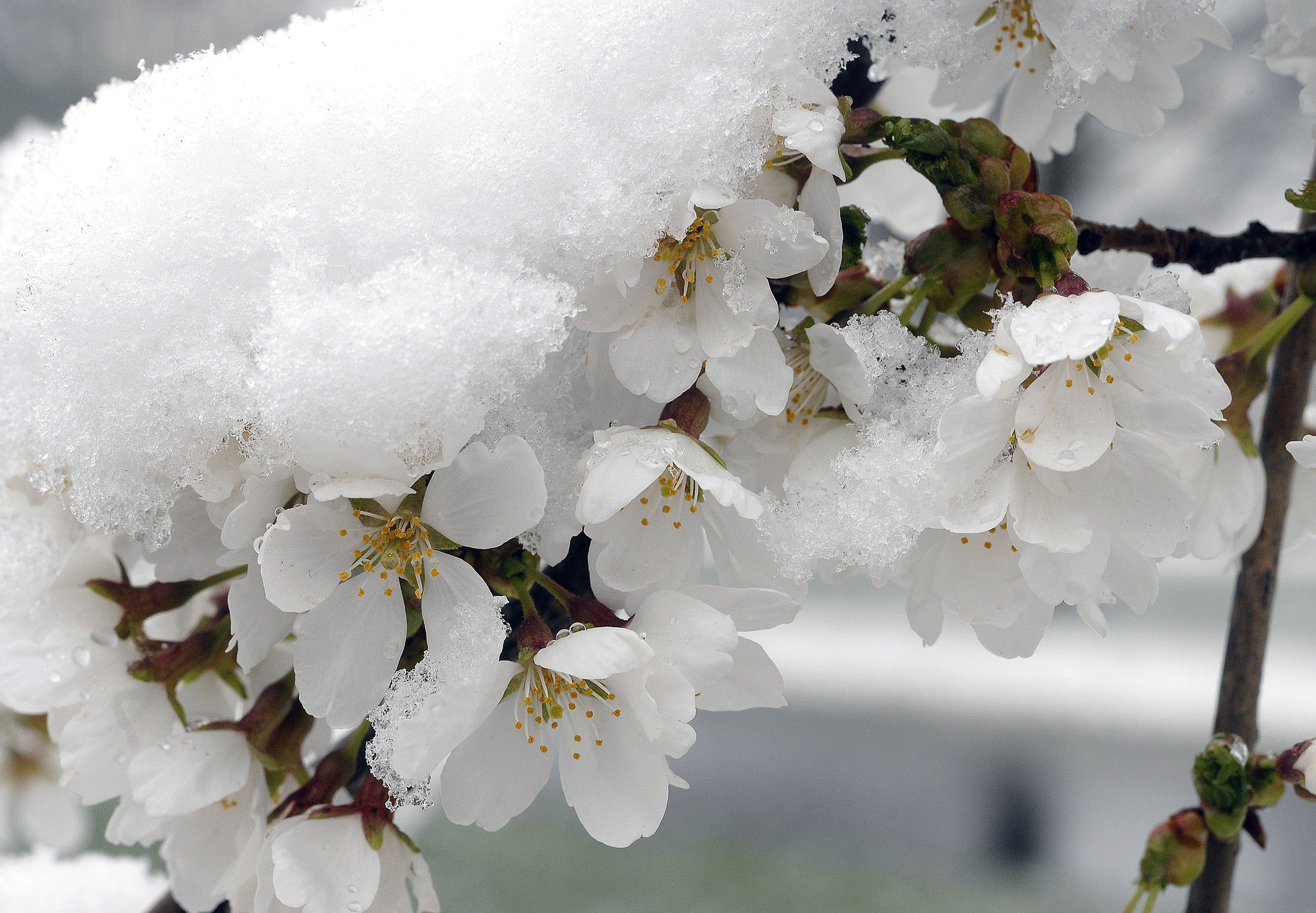 Fruit Growers Try Tricking Mother Nature To Prevent Crop Damage