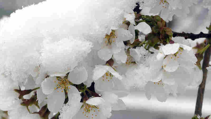 A cherry tree and its blossoms are covered with snow in an orchard near Traverse City, Mich. Three years ago, almost every fruit crop in Michigan was frozen out when cold temperatures followed some 80 degree days in March.