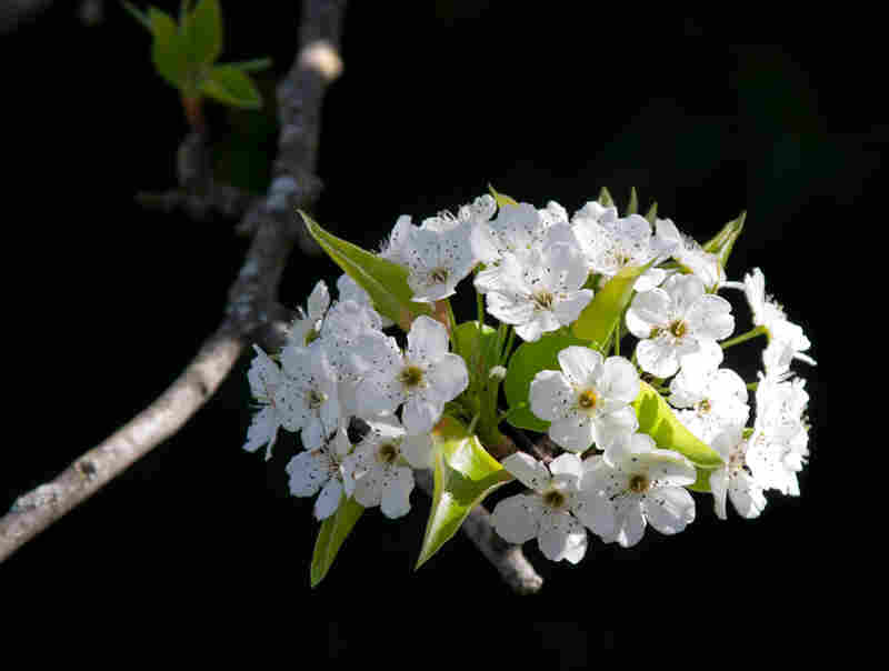 Callery pear blossoms.