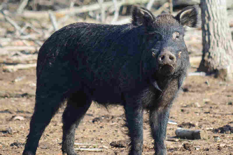 The Choctaw is an American breed of pig with critical status.