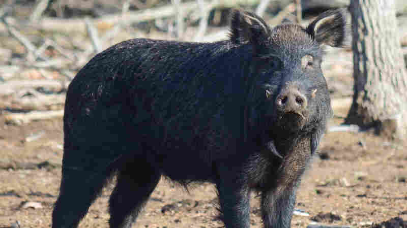 Choctaw boar