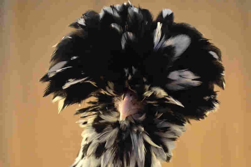 Houdan chicken is on the conservancy's watch list.