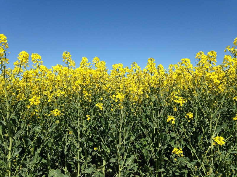 How British Farmers Are Making Rapeseed (Canola) Posh And Flavorful
