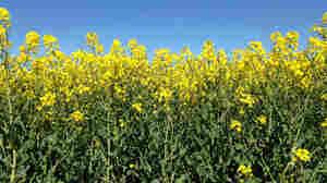 Algy Garrod's rapeseed in bloom in Norfolk, England.