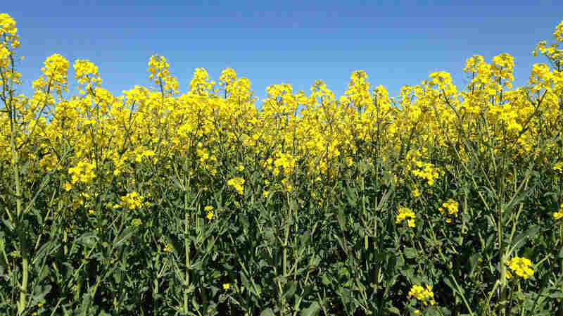 Algy Garrod's rapeseed in bloom in Norfolk, England.