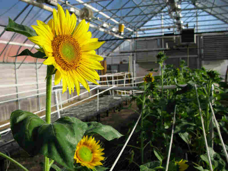 A sunflower greenhouse in Fargo, N.D., where Brent Hulke is breeding plants that produce oil that's dramatically lower in saturated fat.