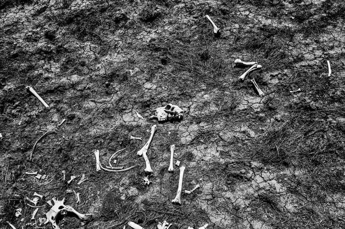 Sheep bones, Alpaugh, Calif.