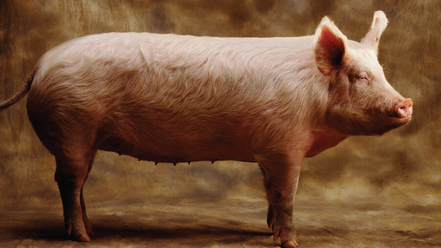 Tales' Of Pig Intelligence, Factory Farming And Humane Bacon : The ...