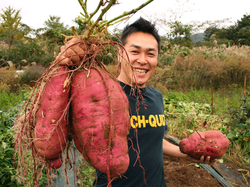 Now that's a big root: Sweet potatoes aren't tubers, or thickened stems, like potatoes. Sweet potatoes are roots — swollen and packed with starch.