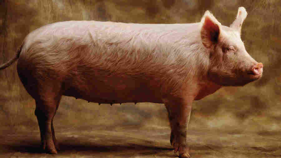 Author Barry Estabrook says that pigs can be taught to play computer games and recognize themselves in a mirror.