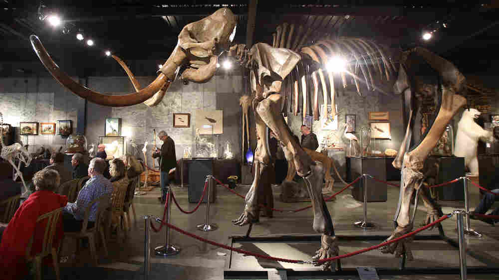If Science Could 'Clone A Mammoth,' Could It Save An Elephant?