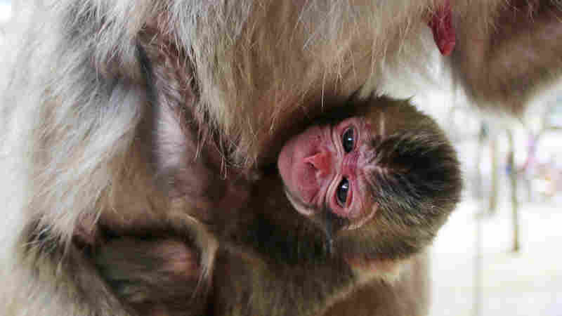 A baby monkey named Charlotte clings to her mother at the zoo in Oita in southern Japan in this photo released Wednesday by the Mount Takasaki Wild Monkey Park.